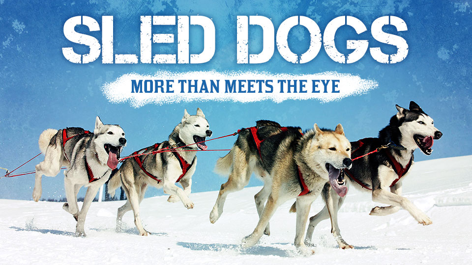 Sled Dogs: More Than Meets the Eye