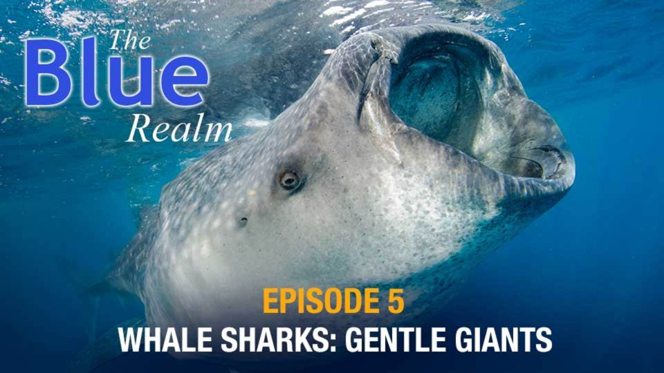 The Blue Realm – Whale Shark: Gentle Giants